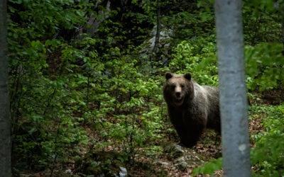 """Per la prima volta in regione un libro """"Sulle tracce degli orsi in Friuli Venezia Giulia, storie e itinerari"""""""